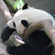 Giant Panda Bear Resting On A Fallen Tree Art Print