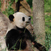 Giant Panda Bear Sitting Up Leaning Against A Tree Art Print