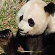 Giant Panda Feeding Himself Shoots Of Bamboo  Art Print
