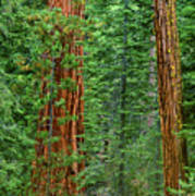 Giant Sequoias Sequoiadendron Gigantium Yosemite Np Ca Art Print