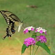 Giant Swallowtail Butterfly II Art Print