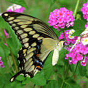 Giant Swallowtail Butterfly  IIi Art Print
