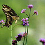 Giant Swallowtail Butterfly On Verbena Art Print