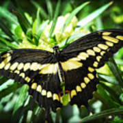 Giant Swallowtail Art Print