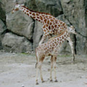 Giraffe And Baby  Art Print