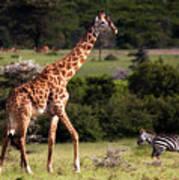 Giraffe And Zebras Art Print
