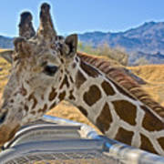 Giraffe At Feeding Station In Living Desert Zoo And Gardens In Palm Desert-california Art Print