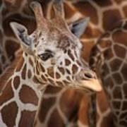 Giraffe - Camouflage Art Print