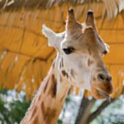 Giraffe In The Zoo. Art Print