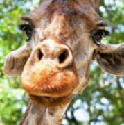 Giraffe Interest Art Print