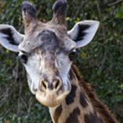 Giraffe Looking At You Art Print