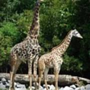 Giraffe, Male And Female Art Print