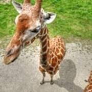 Giraffe's Point Of View Art Print