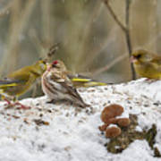 Give Me A Kiss. Redpolls And Greenfinches Art Print