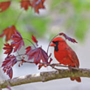 Give Me Shelter - Male Cardinal Art Print by Kerri Farley