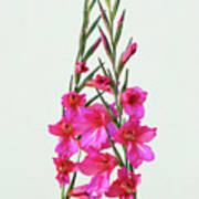 Gladioli Byzantinus In Love Art Print