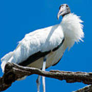 Glamorous Wood Stork Art Print
