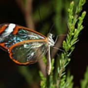 Glasswinged Butterfly Art Print