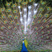 Glassy Peacock  Art Print