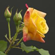 Glenn's Rose Art Print
