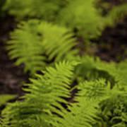 Glimmering Ferns Art Print