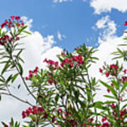 Glorious Fragrant Oleanders Reaching For The Sky Art Print