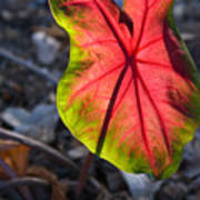 Glowing Coladium Leaf Art Print