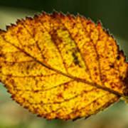Glowing Fall Leaf Art Print