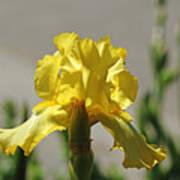 Glowing Yellow Iris Art Print