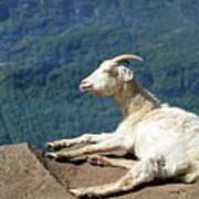 Goat Enjoy The Sun Art Print