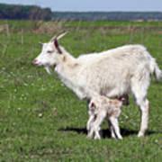 Goat With Just Born Little Goat Spring Scene Art Print