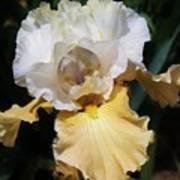 Gold And White Iris Art Print