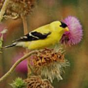 Goldfinch On Thistle Art Print