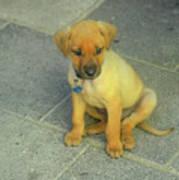 Golden Cunucu Puppy In Aruba Art Print