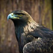Golden Eagle 5 Art Print