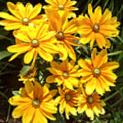 Golden Eyed Susans Art Print