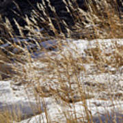 Golden Grasses In Sun And Snow Art Print