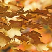 Golden Light Autumn Maple Leaves Art Print