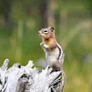 Golden Mantled Ground Squirrel Art Print