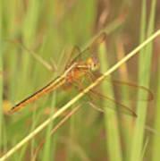 Golden Marsh Dragonfly Art Print