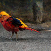 Golden Pheasant Art Print