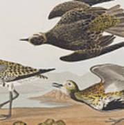 Golden Plover Art Print