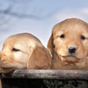 Golden Puppies Art Print by Cindy Singleton