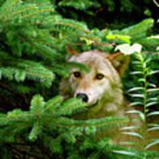 Golden Red Wolf Art Print