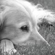Golden Retriever Dog In The Cool Grass Monochrome Art Print