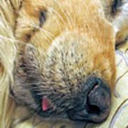 Golden Retriever Dog Little Tongue Art Print