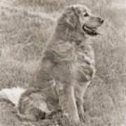 Golden Retriever Dog Sepia Art Print