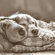 Golden Retriever Dog Sleeping With My Friend Sepia Art Print