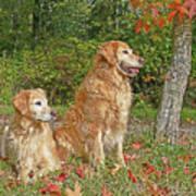 Golden Retriever Dogs In Autumn Art Print