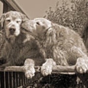 Golden Retriever Dogs The Kiss Sepia Art Print